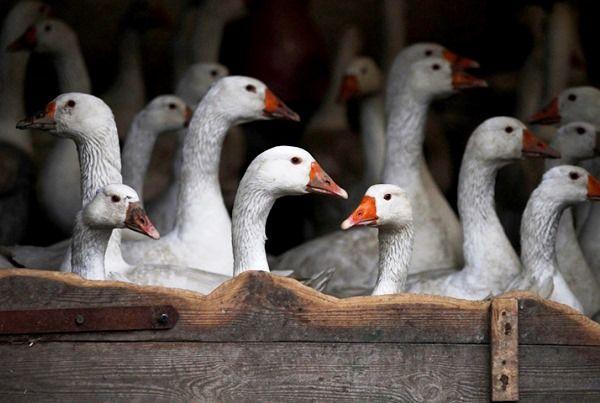 Приміщення для утримання гусей