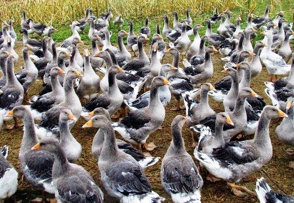 Розведення гусей на продаж