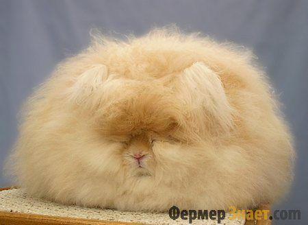 Особливості ангорських кроликів