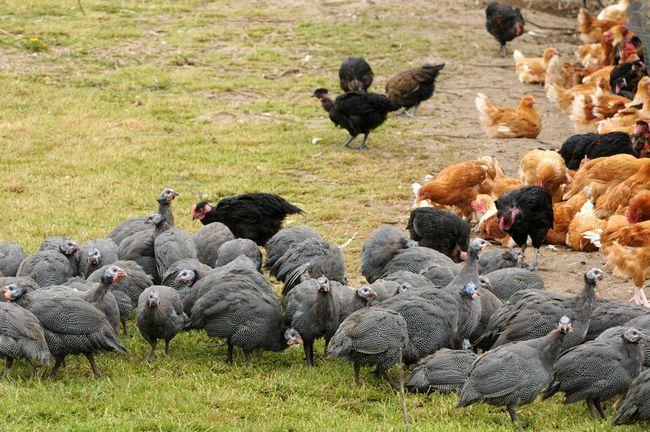 Сірі цесарки і курки на траві
