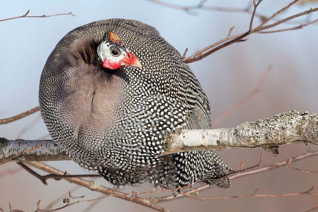 Цесарка на гілці дерева