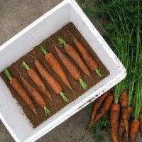 зберігання моркви