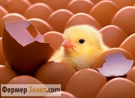Особливості інкубації курячих яєць або як домогтися 100% успіху
