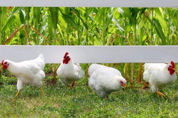 Кури і півні породи Плімутрок білого забарвлення
