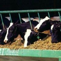 Особливості годівлі корів на комплексах