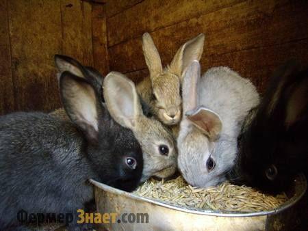 Чим найкраще годувати кроликів