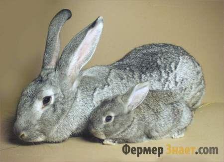 Шиншилові кролиця з кроленям