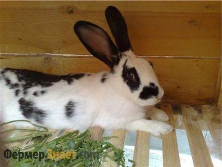 Чорно-білий кролик метелик