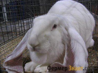 Кролик великий баран