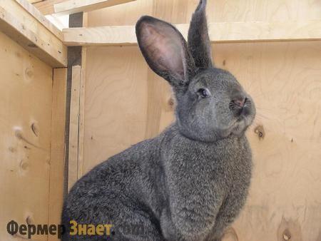 Сірий кролик Фландр