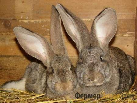 Три кролика породи Фландр
