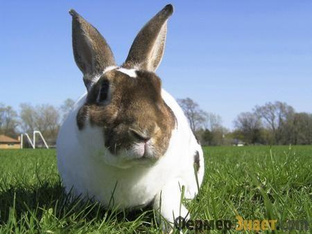 Особливості кроликів породи рекс