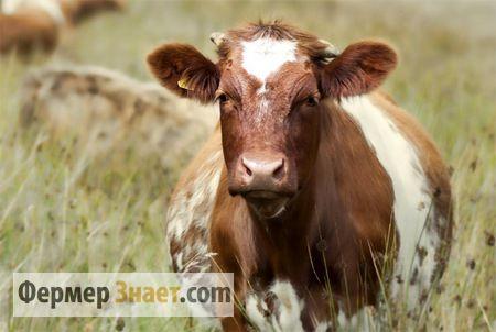 Особливості харчування і догляду за тільними коровами