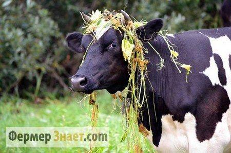 корова налугу