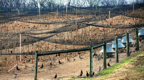 Особливості розведення фазанів в домашніх умовах