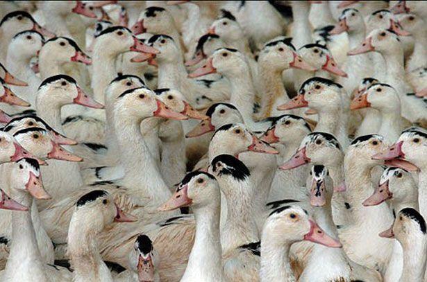 Багато качок породи Мулард