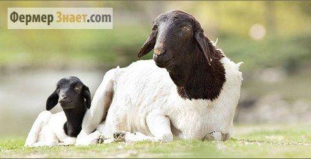 Вівця з ягням