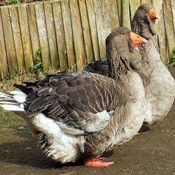 Особливості утримання та розведення тулузьких гусей