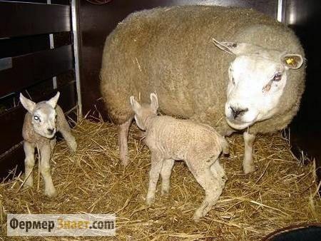 Вівця з приплодом