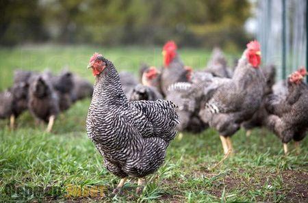 Кури породи Плімутрок пасуться на полі