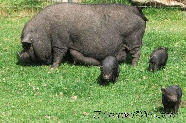 В`єтнамська вислобрюхая свиня з поросятами на прогулянці