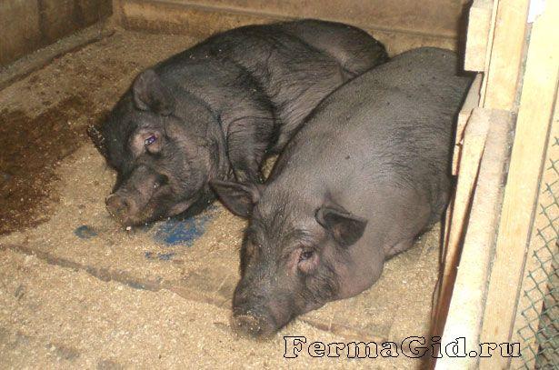 В`єтнамські вислобрюхие свині в свинарнику