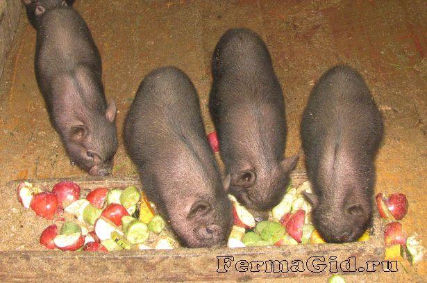 В`єтнамські вислобрюхие поросята їдять яблука