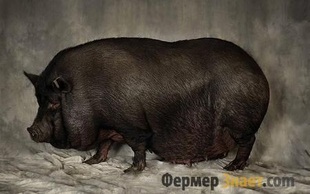 В`єтнамська вислобрюхая свиня