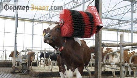 комфорт для корівок
