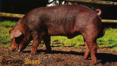 Особливості свиней породи дюрок