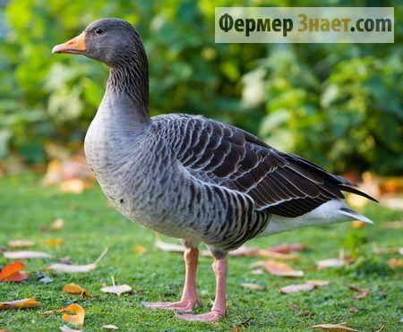 Особливості вигодовування ландської птиці для отримання делікатесної печінки