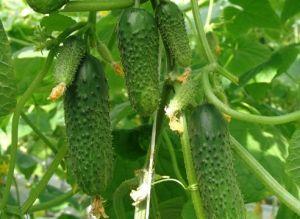 Сорт огірків «Мурашка»