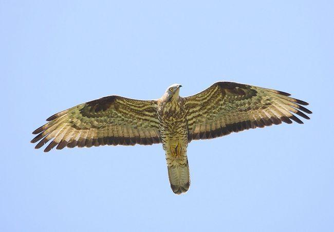 Звичайний осоїд в польоті