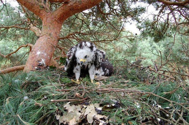 У місця свого гніздування звичайні осоїди повертаються в середині весни, і починають будувати гніздо на тому ж місці, що і в попередньому році.