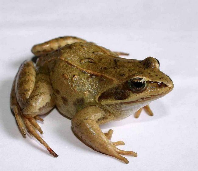 Велику частину часу ці жаби проводять на суші.