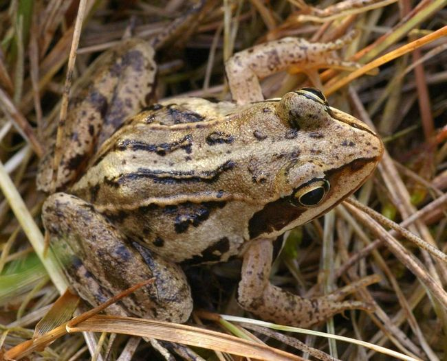 Остромордая жаба вважає за краще водойми з великою рослинністю.