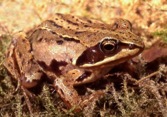 Іноді ці жаби зимують у водоймі.