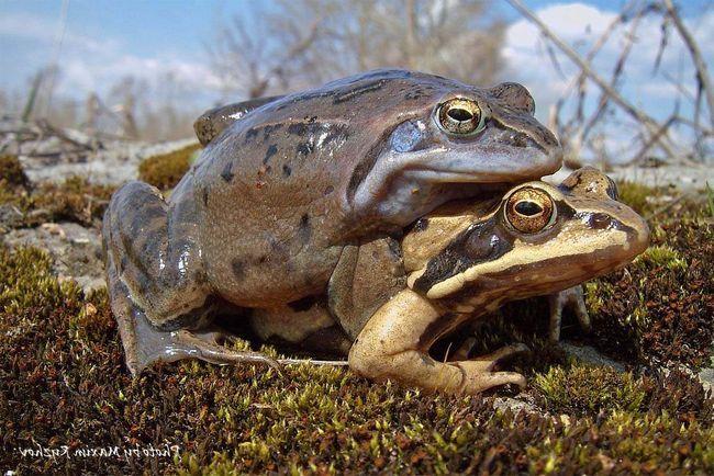 Остромордая жаба живе до 11 років.