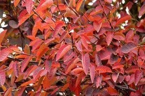 листя ірги