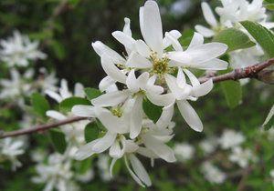 квітки ірги