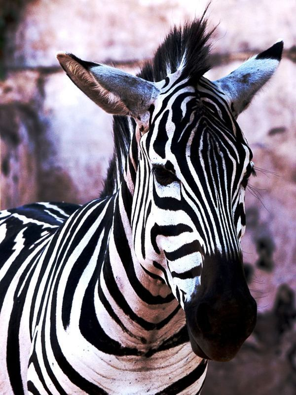 Зебри - знайомі незнайомці