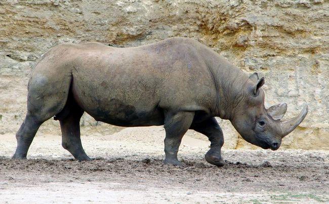 Чорний носоріг - звір недружній, не варто поводитися з ним нав`язливо.