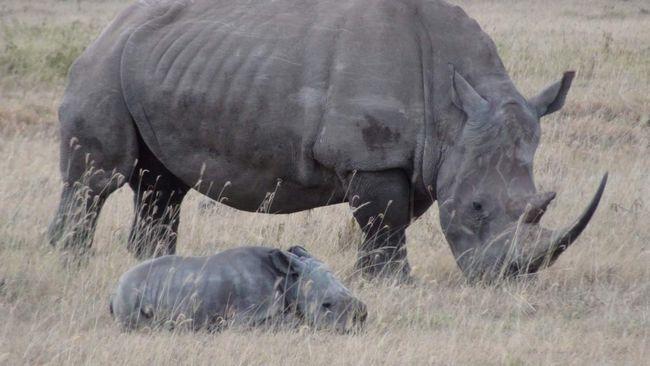 Самка носорога з малюком.