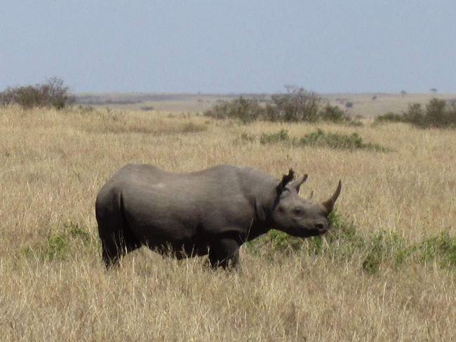 Чорний носоріг в національному парку.