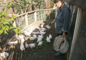 Годування бройлерних курчат на прогулянкової майданчику