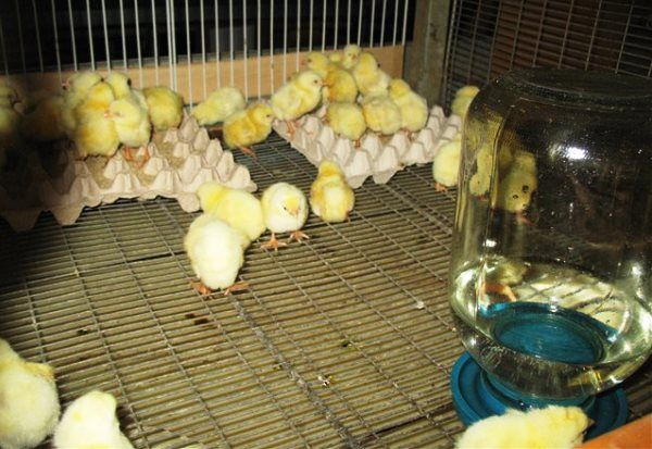 Раціон для курчат при відгодівлі на м`ясо