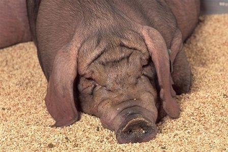 чим годувати свиню