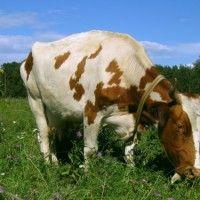 Відгодівлю вибракуваних корів
