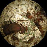 Відкрито співробітництво мурах і бактерій у видобутку азоту