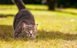 історія походження кішок